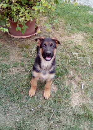 Cucciola di pastore tedesco con pedigree