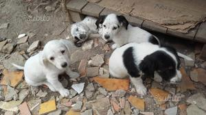 Cuccioli Jack russel - setter inglese