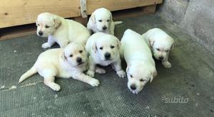 Cuccioli di Labrador Retriever