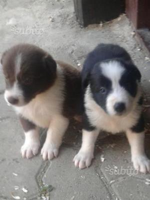 Cuccioli di border collie a Torino con pedigree