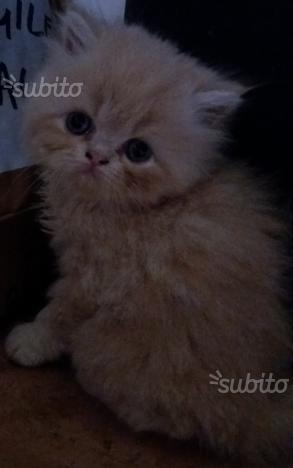 Cucciolo albicocca di gatti persiani ipertipici