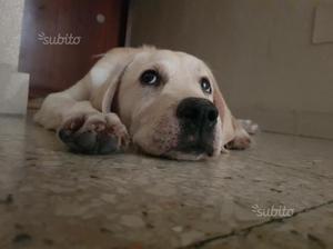 Cucciolo di 3 mesi labrador