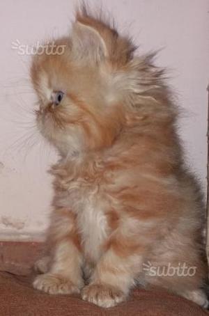 Cucciolo di gatti persiani arancione