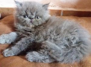 Cucciolo di gatti persiani ipertipici