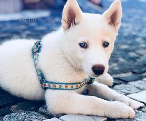 Cucciolo di husky bianco