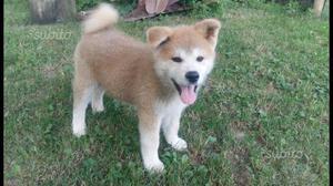 Disponibile un cucciolo di Akita Inu con Pedigree