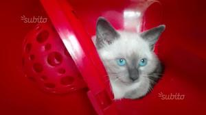 Gattina mix Siamese