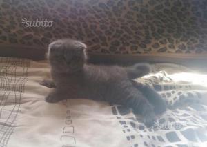 Gattini Scottish Fold Blue