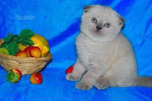 Gattini Scottish Fold Blue Point