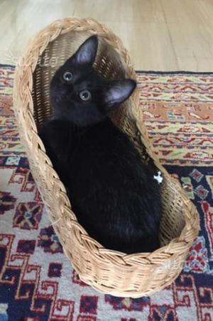 Gattino Maschio 2 Mesi