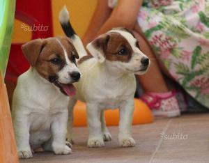 Jack Russell Terrier pedigree