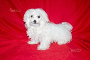 Maltese, cucciolo molto piccolo, con pedigree