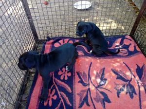 Regalo cuccioli di cane corso