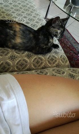 Regalo gattina di 4 mesi