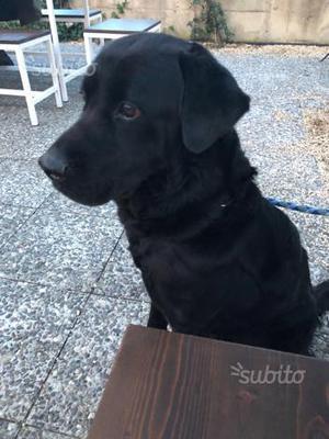 Regalo simil Labrador nero