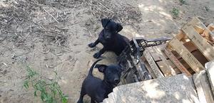 Regalo ultimi 2 cuccioli incrocio pincher nano