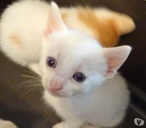 Regalo gattini incrocio siamese