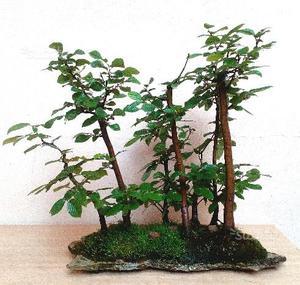 Bonsai bosco di Carpini su lastra 7 piante H. 51
