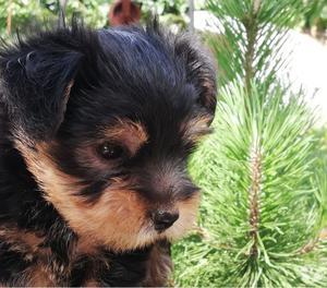 Vendo cucciolo yorkshire nato il .