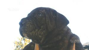 Cane Corso cuccioli alta selezione