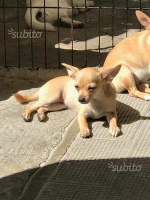 Chihuahua Ultima Cucciola Femmina