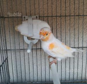 Coppie canarini rosso mosaico