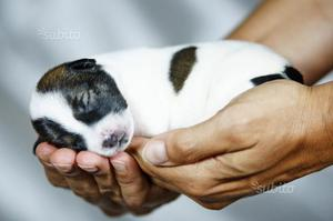 Cucciolata jack russell terrier pelo liscio