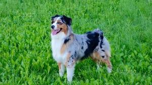 Cuccioli australian shepherd pedigree enci