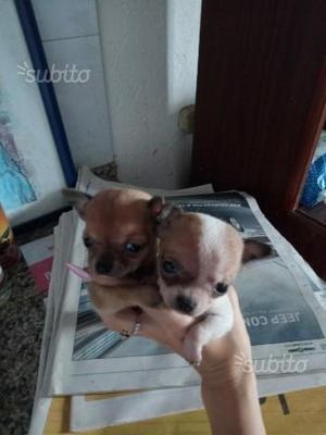 Cuccioli di barboncino toy e chihuahua mini amorev