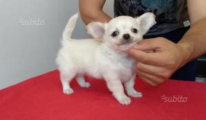 Cucciolo di chihuahua bianco a pelo lungo maschio