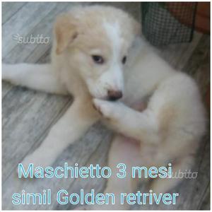 Maschietto 3 mesi simil Golden retriver