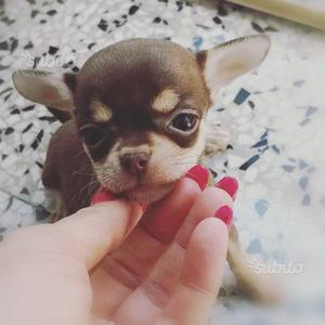 Meravigliosi cuccioli di chihuahua taglia piccola