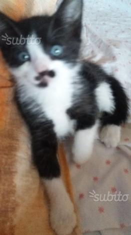 Regalo gattino bianco e nero occhi azzurri