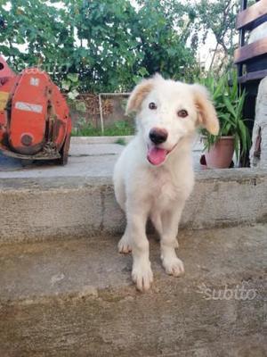 Sophie cucciola simil labrador in adozione