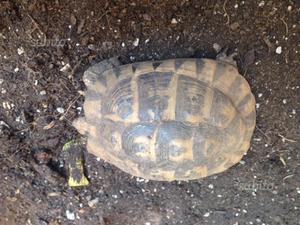Tartaruga adulta posot class for Tartaruga di terra maschio o femmina
