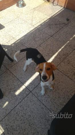 Beagle 6 mesi