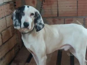 Cani da caccia al cinghiale,razza Ariegeois
