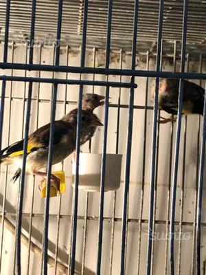 Cardellini nati in gabbia