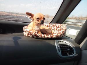 Chihuahua maschio aspetta fidanzatina