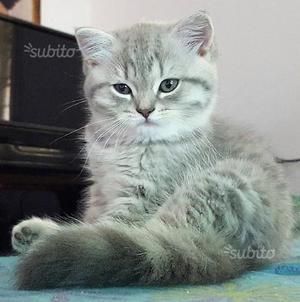 Cuccioli British Shorthair