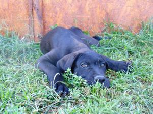 Cuccioli cane corso Pedigree Enci Recupero Spese