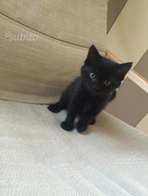 Gattino nero dolcissimo