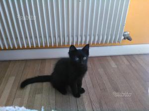 Gattino nero maschio