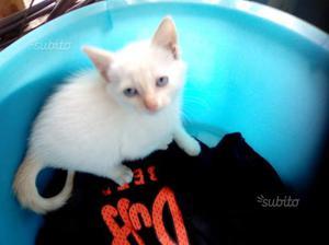 Gattino siamese thai