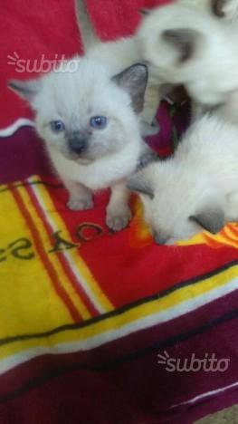 Gatto siamese originale thai