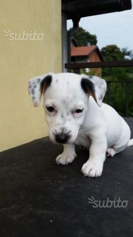 Jack Russel bianco cane cagnolino