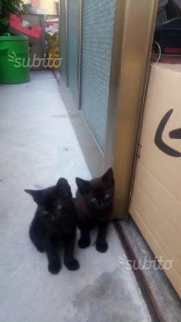 Regalo cuccioli gattini