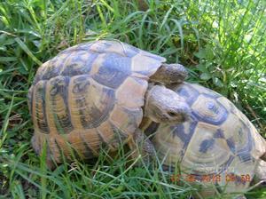 Tartaruga di terra maschio riproduttivo