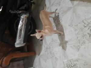 Chihuahua maschio per monta
