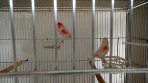 Coppia canarini rosso mosaico